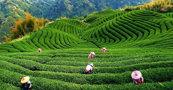 польза зеленого чая